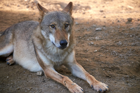 close up of wolf Stock Photo