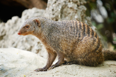 mongoose: close up of banded mongoose