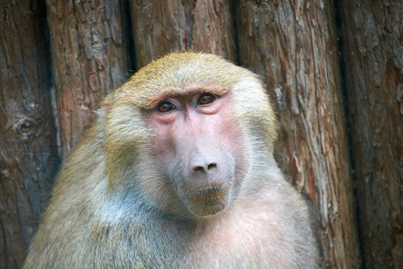baboon: close up of Olive Baboon