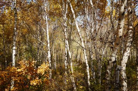 birches: Birches during autumn  Stock Photo