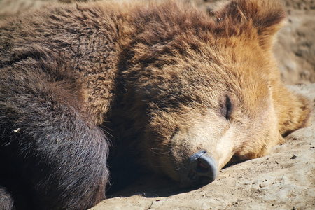 Brown bear sleeping in the sunlight Stock Photo