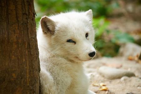 loveliness: close up of arctic fox Stock Photo