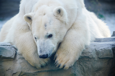 close up of white bear