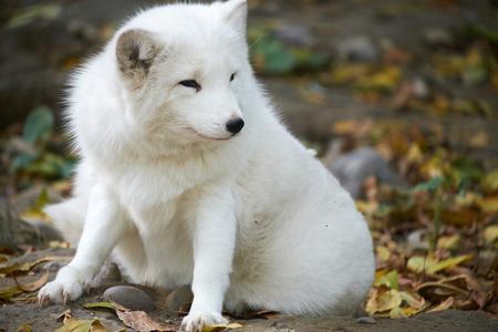 arctic fox: close-up of Arctic fox Stock Photo