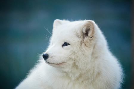 arctic fox: close up of arctic fox Stock Photo
