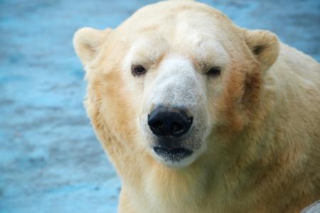 white bear: close up de oso blanco