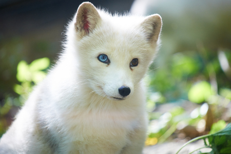 close up of arctic fox Stock Photo