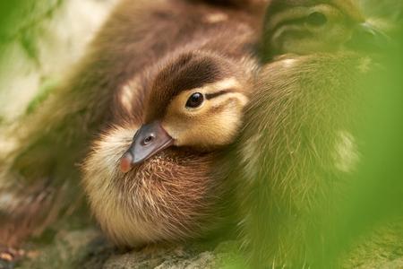 baby mandarin duck Stock Photo
