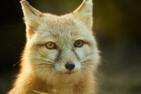 corsac fox Stock Photo