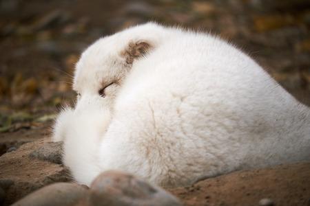 The sleeping arctic fox
