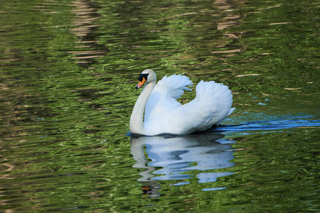 swan in the pond Stock Photo