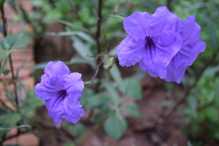 Blue Violet  flower photo