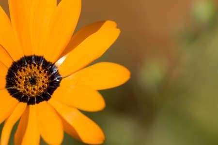 Close up of Namaqualand Daisy  Stock Photo