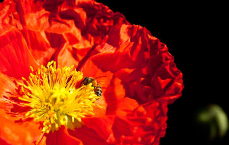 Red Poppy and bee photo