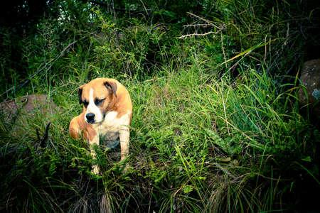 boerboel dog: Big South African Dog Breed - Boerboel