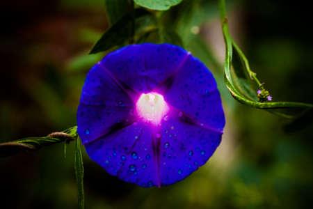 Ipomoea purpurea, Morning glory  photo