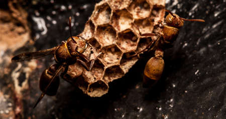 stingers: Wasps and nest  Stock Photo