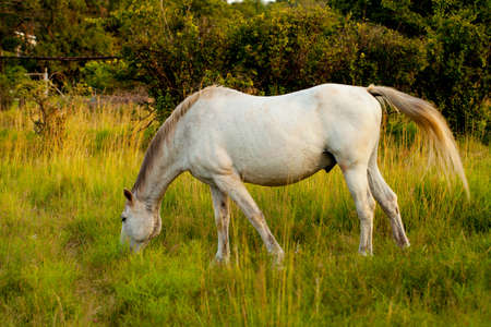 White horse grazing in the flied