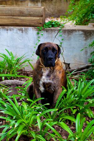 boerboel dog: Boerboel South African Dog breed