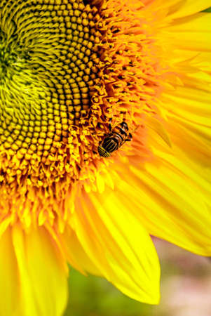 Sunflower and fly bee Stock Photo