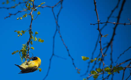 weaver bird: Yellow weaver bird