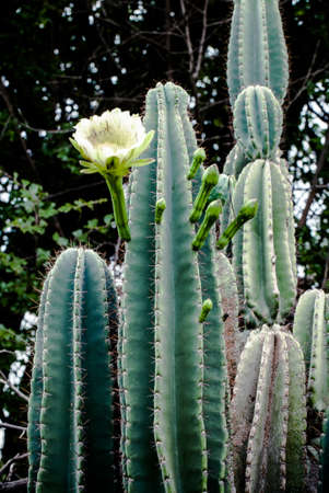 Cactus flower in bloom  Stock Photo