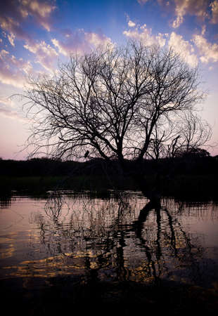 Maun River Tree in water, Africa Stock Photo