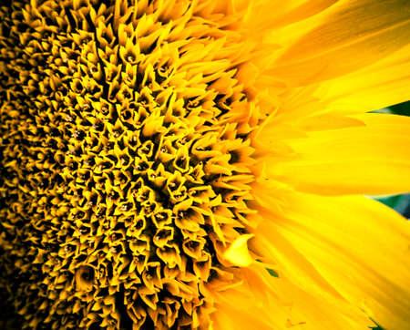 Sunflower macro photography