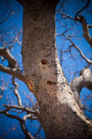 leñador: Agujero Leñador en el árbol