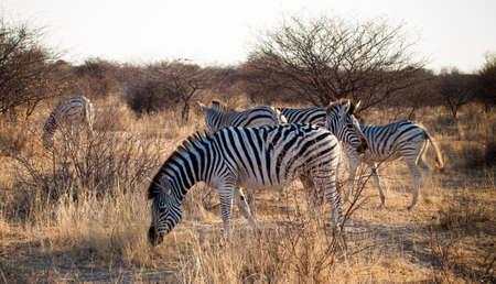 Zebras grazing Botswana Serowe