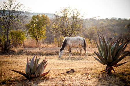 African horse grazing  Stock Photo
