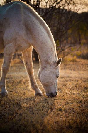 Horse at sundown grazing close up