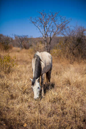 White horse in Field  Stock Photo