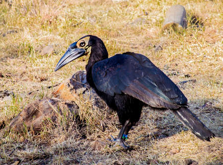 the largest: Largest Hornbill
