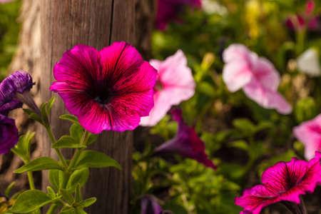 Bright pink petunias and purple petunias Stock Photo