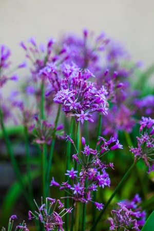 Ornamental Garlic flowers  Stock Photo