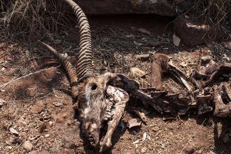 carcass: Buck beenderen karkas