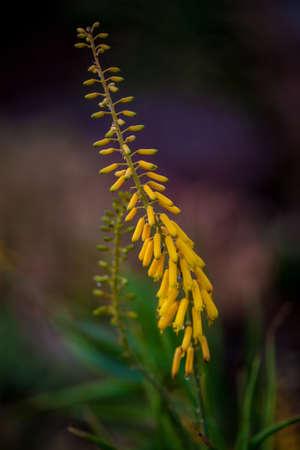 Yellow allow flower Stock Photo