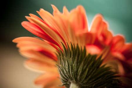 Gerbera Daisy Artistic
