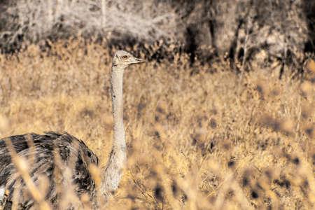 Ostrich fine arts contemporary art Stock Photo