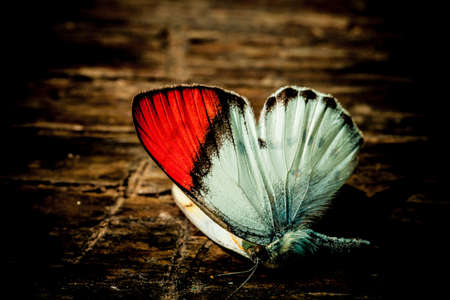 Butterfly red tip wing