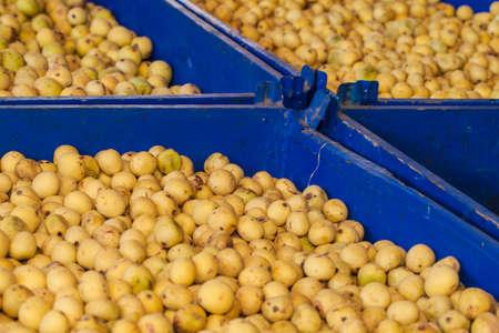 Marula fruit harvest Stock Photo