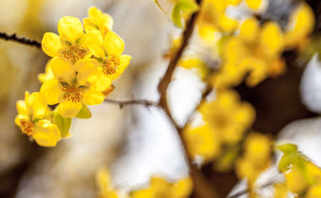 Mickey Mouse or Apricot tree flowers in bloom