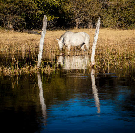 Fine art : White horse reflection in water