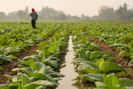 tobacco: A man working on the rows of tobacco growing in the fields  Stock Photo