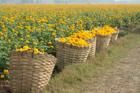 マリーゴールド花