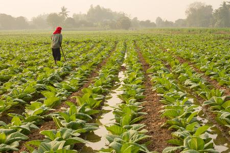 tobacco plant: Tobacco Field Stock Photo
