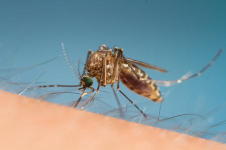 gnat: mosquito Stock Photo