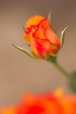 rose bud: beautiful fresh orange rose - soft focus