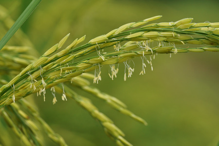 Oryza sativa with small wind-pollinated flowers